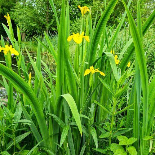 Sumpf--Schwertlilie