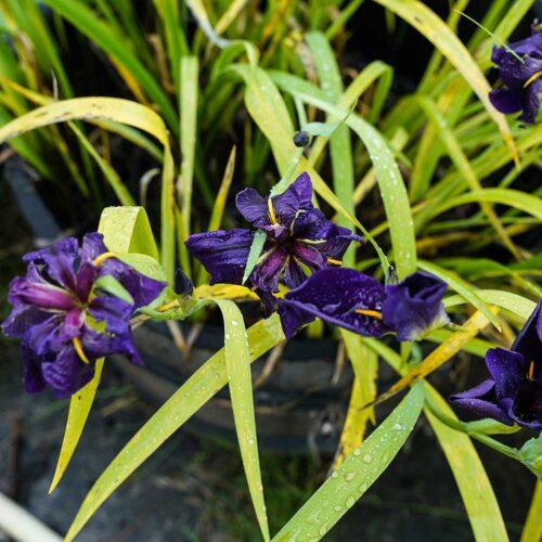 Louisiana Schwertlilie