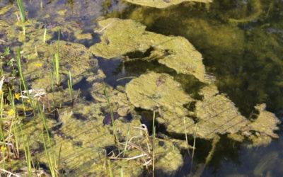 Nährstoffpflanzen zur nätürlichen Algenbekämpfung